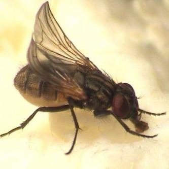 Stubenfliegen